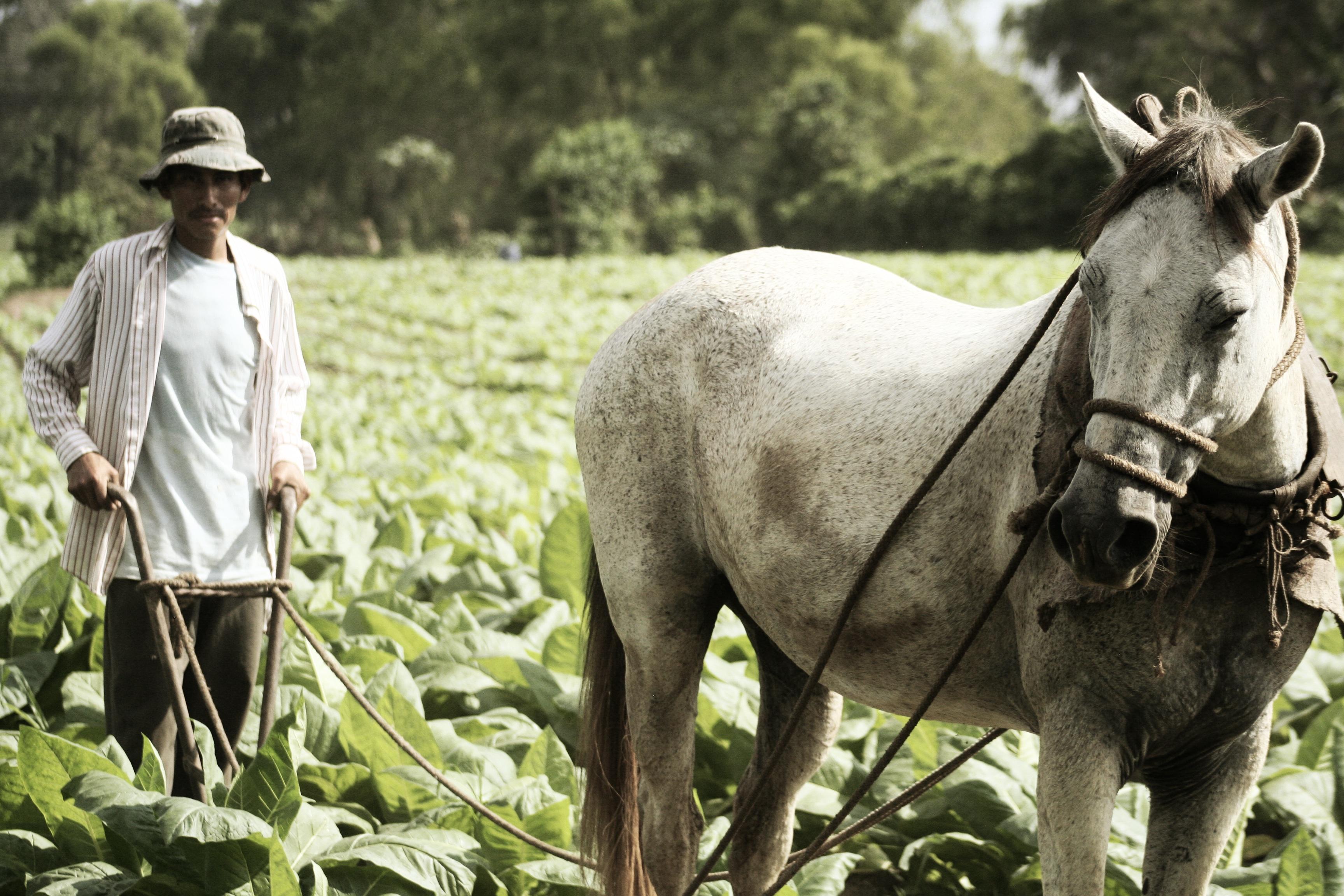 Plantacja tytoniu cygarowego w Nikaragui. Do zwijania cygar premium używany jest wyłącznie tytoń z ekologicznych upraw.