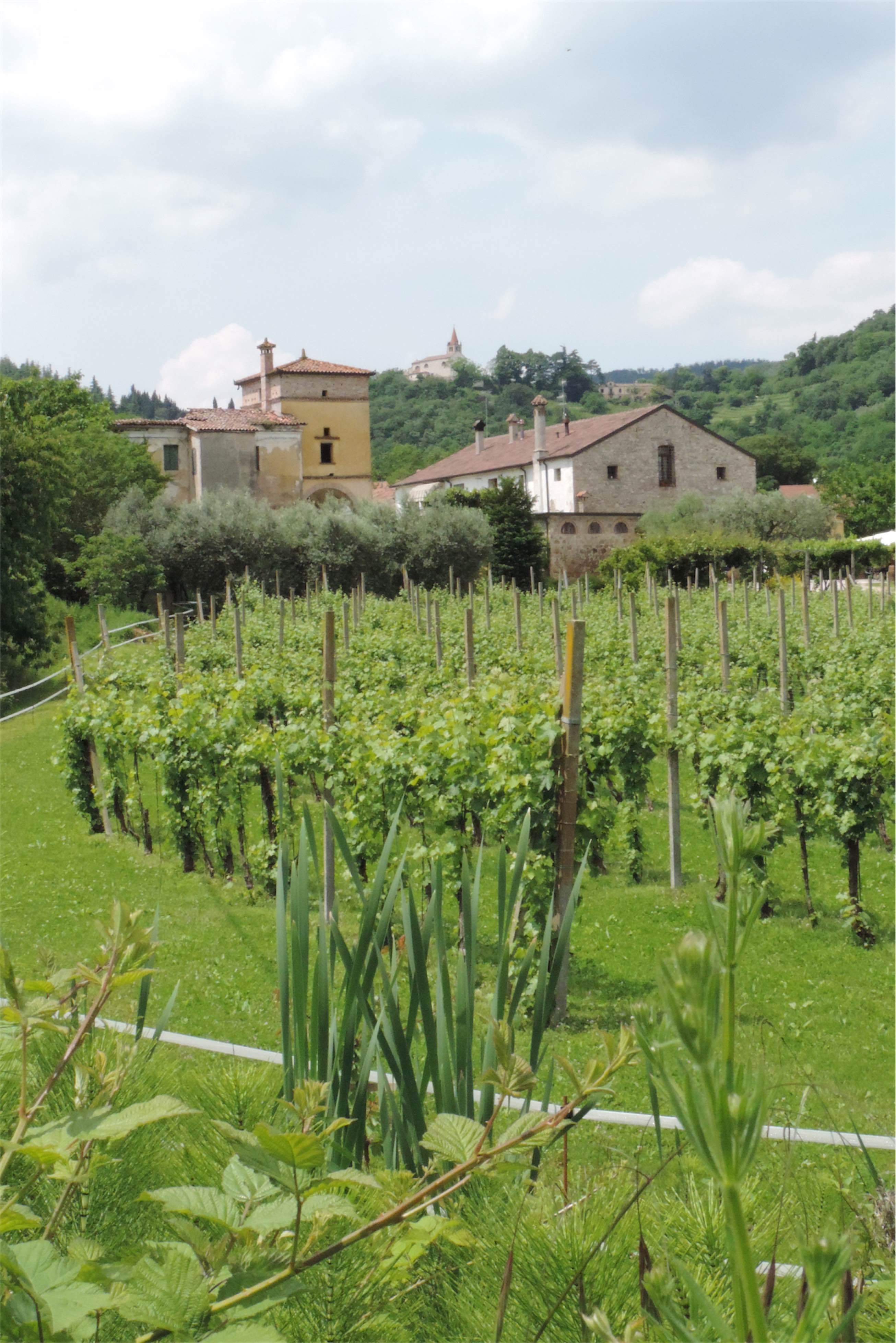 Winnica w Colli Euganei