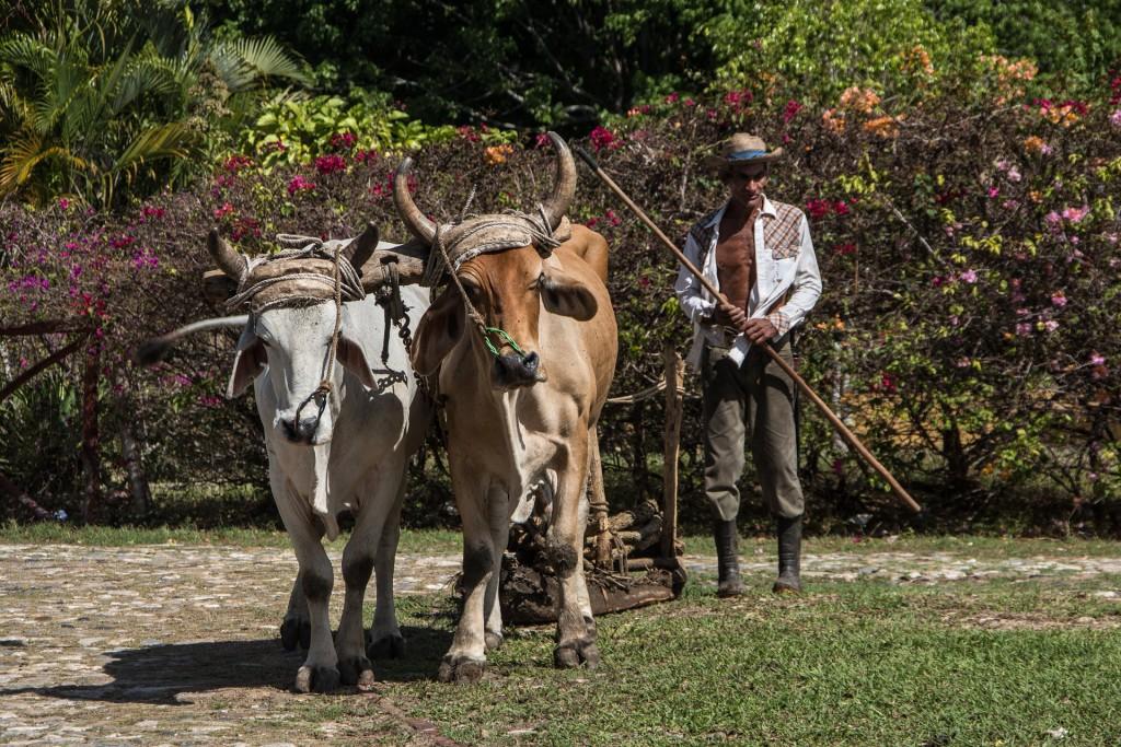Uprawa tytoniu używanego do produkcji cygar odbywa się wyłącznie tradycyjnymi metodami, bez użycia kombajnów i traktorów