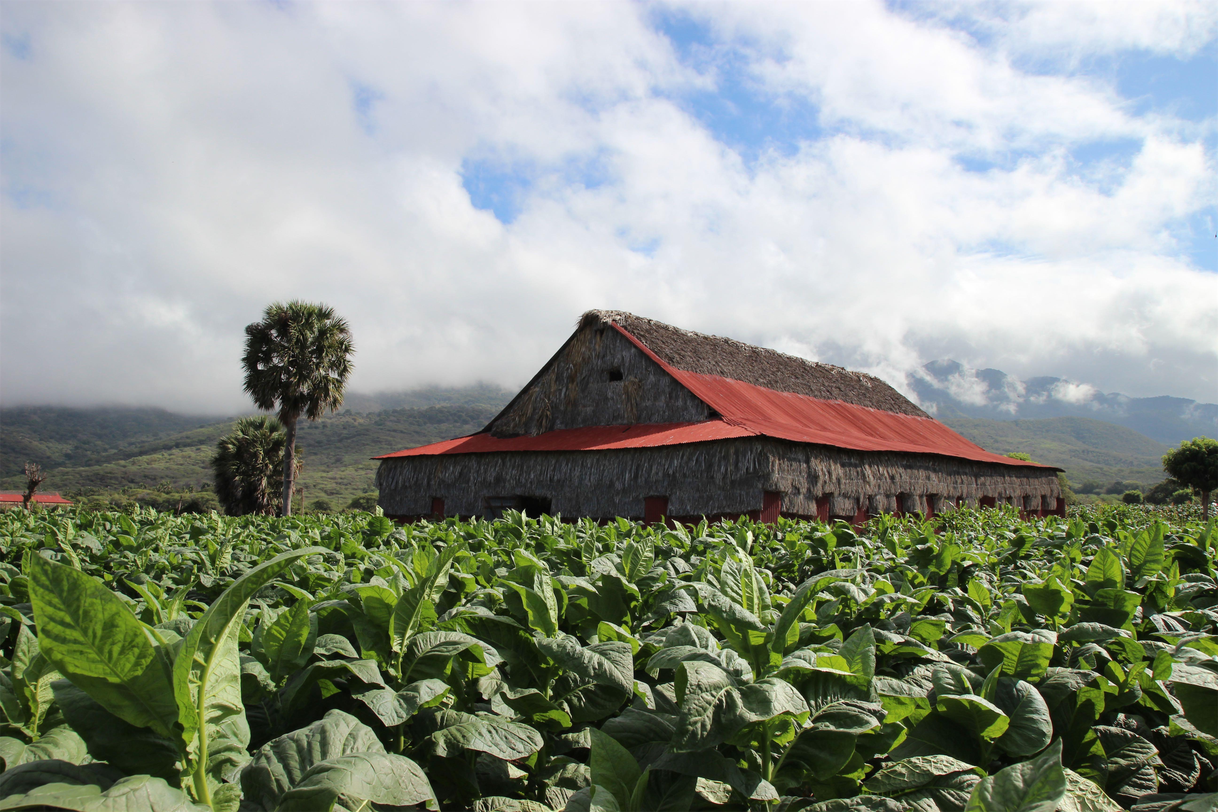 Plantacja tytoniu w Jicome - Davidoff - Dominikana - Manufaktura Marzeń